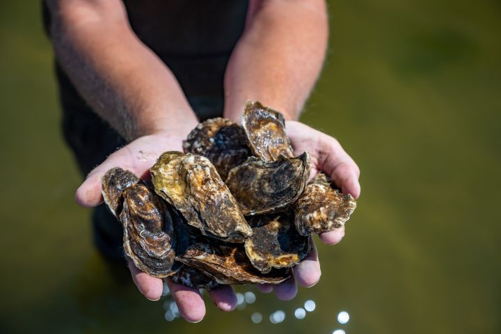 Islip Shellfish Restoration Program